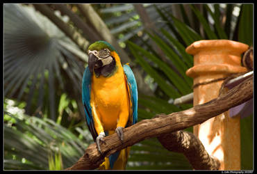 Blue and Yellow Macaw by Melen