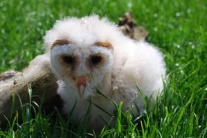 BARN OWL BABY STOCK 3 by Theshelfs