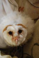 BARN OWL BABY STOCK 4 by Theshelfs