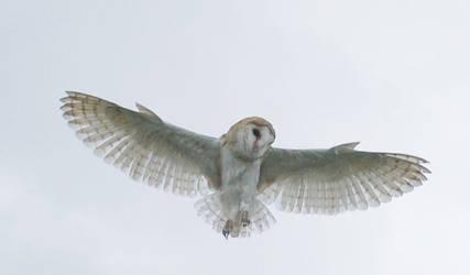 BARN OWL STOCK by Theshelfs