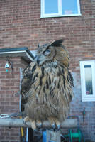 European Eagle Owl S T O C K by Theshelfs