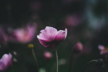 flower hd wallpaper by Prolite