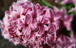 Flower Stock Pink by Moonchilde-Stock