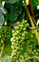 Grape Stock I by Moonchilde-Stock