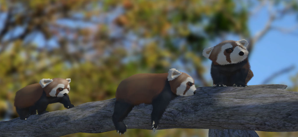 Red pandas hanging out in a tree by eriknordeus