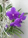 Purple orchides by dainfort