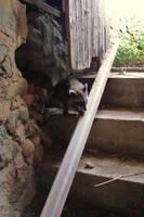 Raccoon by kripes