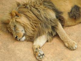 Sleeping lion by Bushrch