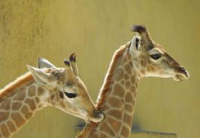 Baby giraffes by Bushrch