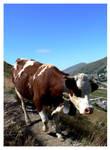 Val Thorens, Cow by koskoz