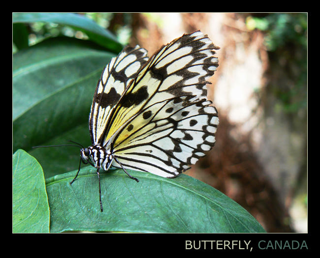 Butterfly by koskoz