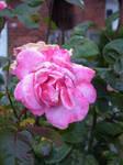Rose by LeaTrekina