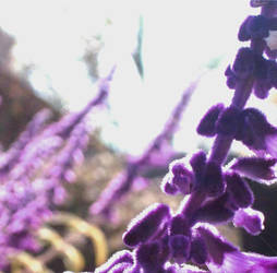 Purple by AkynaLynne