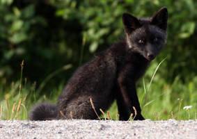 black fox kit by freddiecruger