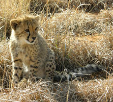 Cheetah Babe IV by Jenvanw