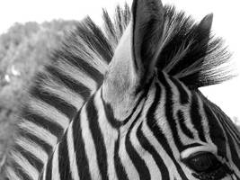 BlackWhite Zebra by Jenvanw