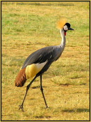 Crowned Crane by Jenvanw