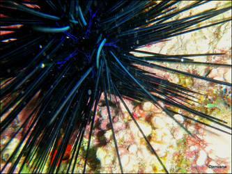 Sea Urchin by Jenvanw