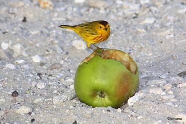 Apple Bird, Curacao by Jenvanw