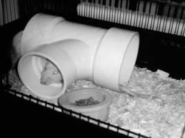 Heather's Rats by kandi