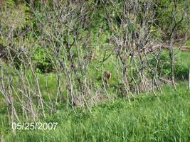 Deer In Woods by kandi
