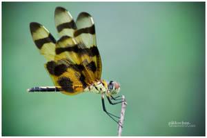 Tiger Dragonfly by Pikkochan