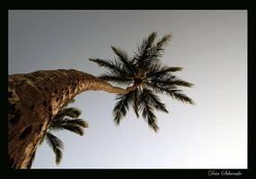 Palm by PacIslander2