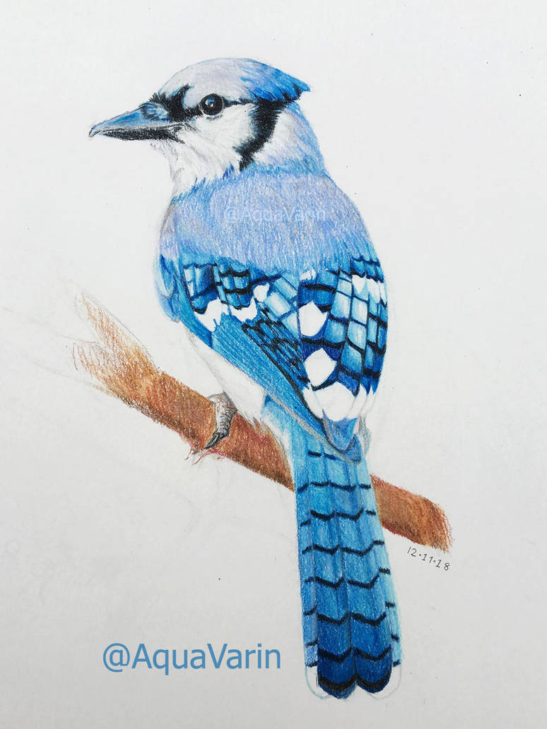 Blue Jay by AquaVarin