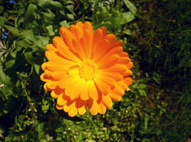 Orange Daisy by MindlessAngel