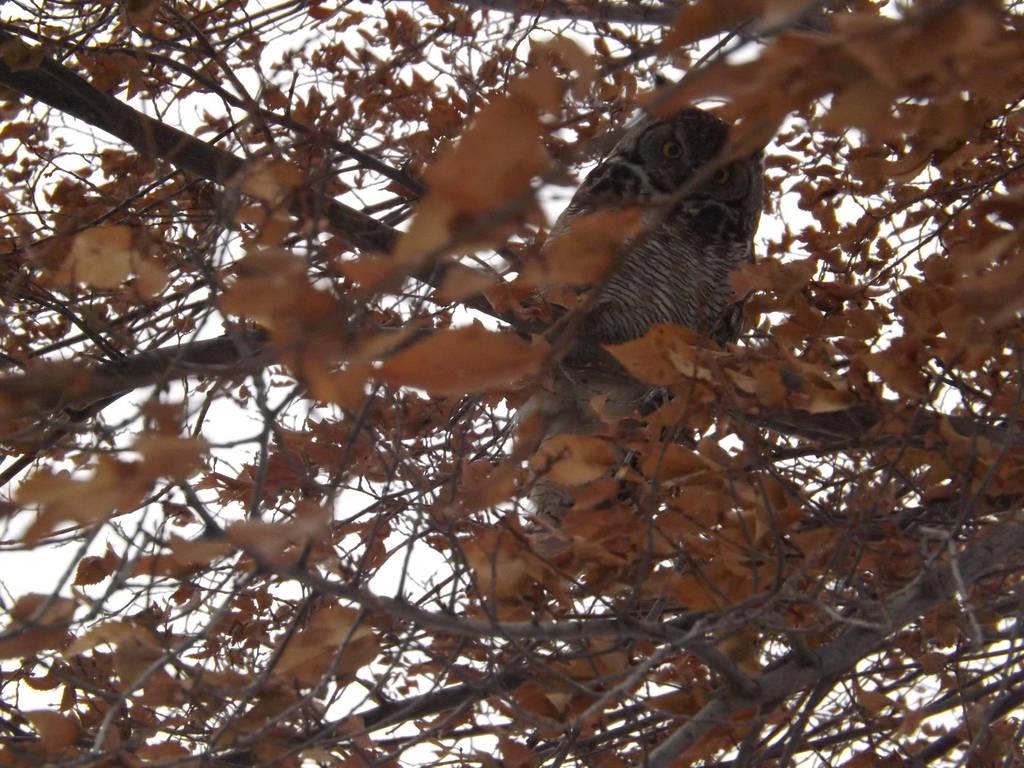 Owl2 by MindlessAngel