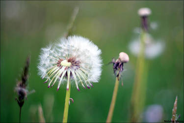 Dandelion I by sunlitsix