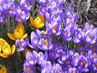Purple and Yellow Crocuses by ezo