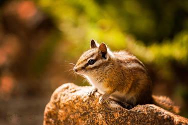 Rocky Mountain Rodent by JeffreyDobbs