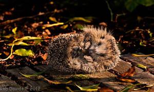 4880 - Hedgehog by RobDavids-DigitalArt