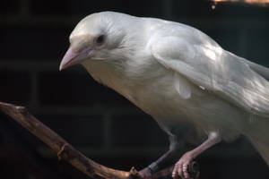 White Crow by OwletStock