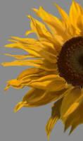 sunflower by voidrunner