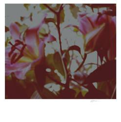 Lilies. by criminallyxvulgar