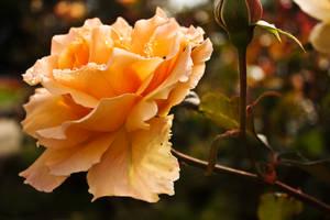 Raindrop Rose by AndrewFletcher