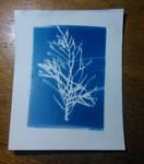 1. Cyanotypes - Cypress by motagirl2