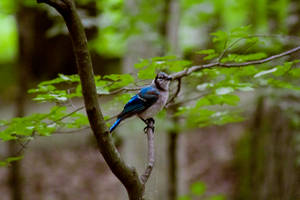 Bluejay by AaronMk