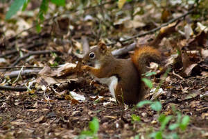 Brown Squirrel by AaronMk