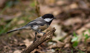Chickadee by AaronMk