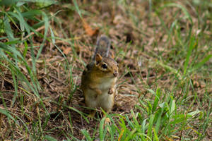 Chipmunk 2 by AaronMk