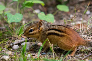 Chipmunk by AaronMk