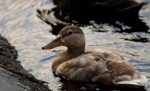 Pale Duck by AaronMk