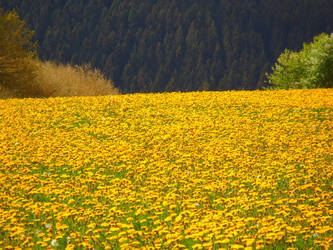 So many Dandelions... by DewSoul