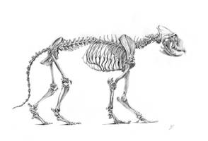 Skeleton of the lion by CalciteMink1610