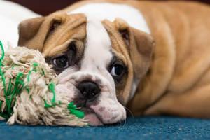 BullDog Puppy2 by VictoriaR