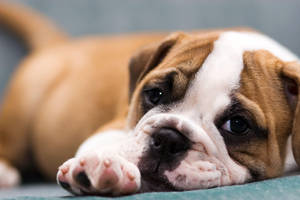 BullDog Puppy3 by VictoriaR