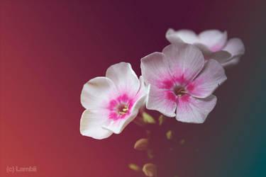 Flowers by Lambii